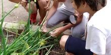 2019_06_07_Los alumnos de Quinto observan los insectos del huerto_CEIP FDLR_Las Rozas 4