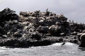 Piqueros Patas Azules y Piqueros Enmascarados en un islote, Ecua