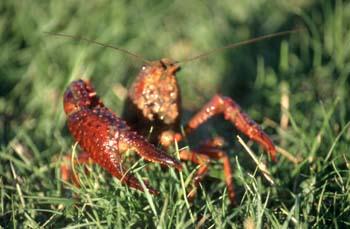 Cangrejo de río americano (Procambarus clarkii)