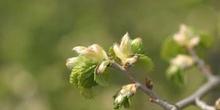 Olmo común - Hojas (Ulmus minor)