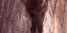 Ardilla roja (Sciurus vulgaris)