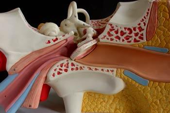 Oído interno
