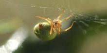 Araña común verde (Araniella curcubutina)