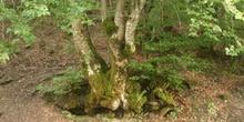 Haya - Bosque (Fagus silvatica)