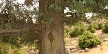 Enebro común - Tronco (Juniperus communis)