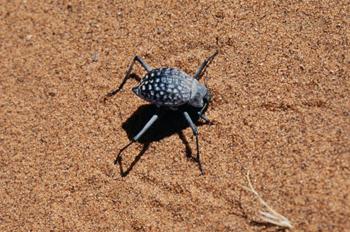 Escarabajo bronceado, Namibia