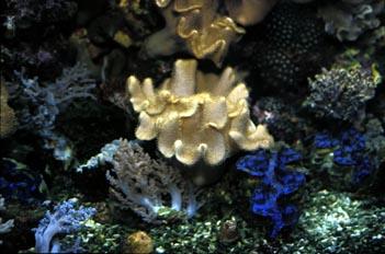 Coral y Tridacna (Alcionario y Tridacna sp.)