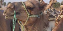 Camello, Douz, Túnez