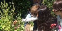 2019_06_11_4º observa insectos en el huerto_CEIP FDLR_Las Rozas 45