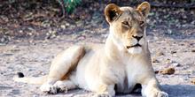 Leona en alerta, Botswana