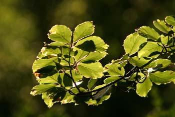 Haya - Hoja (Fagus silvatica)