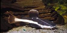 Bagre gigante (Phractocephalus  hemioliopterus)