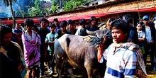 Presentación de búfalo como regalo, Sulawesi, Indonesia
