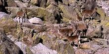 Cabras montesas en Sierra de Gredos, ávila