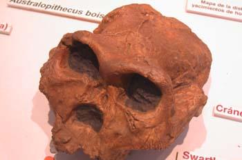 Australopithecus robustus (Mamíferos) Pleistoceno