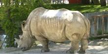 Rinoceronte blanco (Ceratotherium simun)