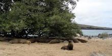 Colonia de lobos marinos en la Isla Lobos, Ecuador