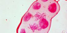 Mitosis 22