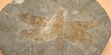Libélula flecha (Aeschnidum cancellosa) Jurásico