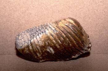 Mammuthus primigenius (Mamíferos) Holoceno