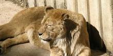 León (Panthera leo)