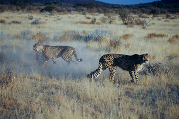 Lucha de guepardos, Namibia