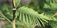 Mimosa - hoja (Acacia dealbata)
