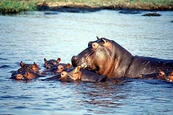Familia de Hipopótamos, Botswana