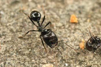 Hormiga (Messor gen.)