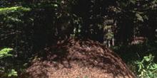 Hormiga del bosque (Formica rufa)