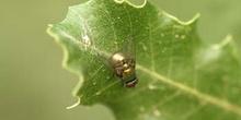 Moscarda verde (Dasyphora sp.)