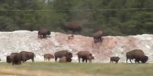 Bisonte americano (Bison bison)
