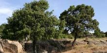 Enebro común - Porte (Juniperus communis)