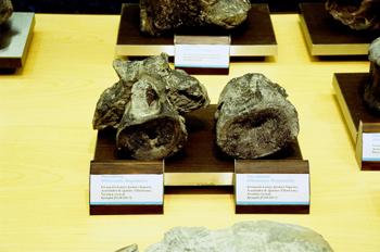 Dacentrurus (Dinosauria, Stegosauria), Museo del Jurásico de Ast