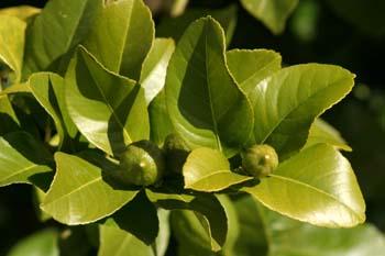 Limonero - Hoja (Citrus limon)