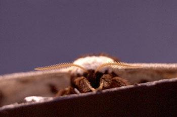 Pavón nocturno (Saturnia pyri)