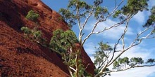 Silueta de los Olgas con eucalipto blanco, Parque Nacional Uluru