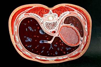 Sección superior  tercio abdomen