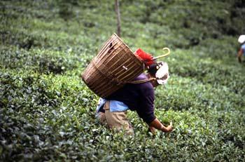 Mujer recogiendo la hoja en una plantación de té, Dajeerling, In