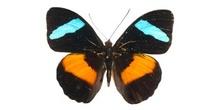 Nessaea obrimus (Sudamérica)