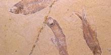 Knightia sp.  (Peces) Eoceno