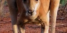 Canguro rojo, Australia