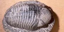 Phacops sp. (Trilobites) Silúrico