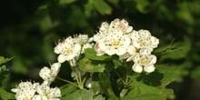 Espino majuelo - Flor (Crataegus monogyna)