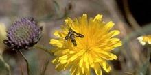 Polilla avispa (Sesia sp.)