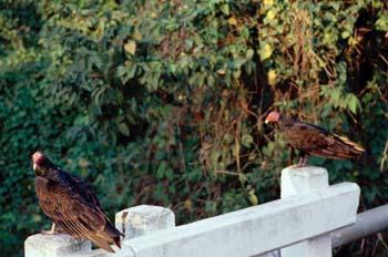 Aves, Cuba