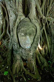 Cabeza de Buda en árbol, Bangkok