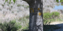 Celtis australis_2