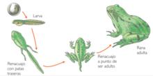 La metamorfosis de las ranas