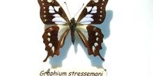 Graphium stressemani (Indonesia)